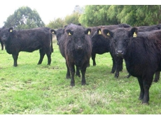 Australian Galloway Association (AGA)
