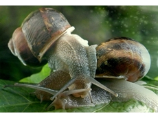 Snails can lay up to 400 eggs each per year, making their control of primary concern for farmers