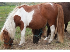 Little and miniature horses have a docile nature