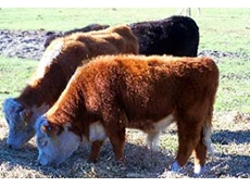 The AMHCA develops breeding standards for miniature Hereford cattle breeders