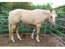 APHA is involved in breeding and registering palomino horses