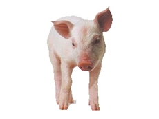 The interests of pure breed pigs are represented by the Australian Pig Breeders Association