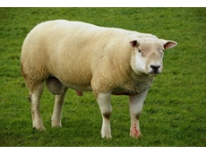 The Australian Texel Stud Breeders Association Inc works for the benefit of Texel sheep breeders