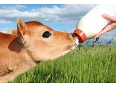 Stimulate Rumen Function in Young Calves with Calf Buddy™ from BEC Feed Solutions