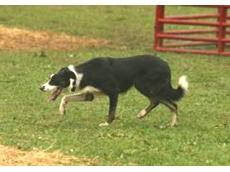 Remote dog training collars