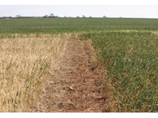 This photo shows the dramatic difference between untreated crops on the left and Sakura treated crops on the right
