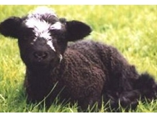 Coloured sheep breeders are represented by the Black and Coloured Sheep Breeders Association of Australia (VIC) Inc.