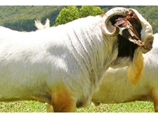 Boer goats are the only type of goat bred for their meat producing qualities