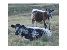 Speckle Park Cattle Breeds