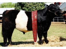 Frozen semen from Clanfingon Nixen is available from Clanfingon Belted Galloways