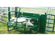 These ergonomically designed calf cradles ensure optimum efficiency, safety and comfort for calves and handlers alike