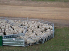 Portable sheep yards