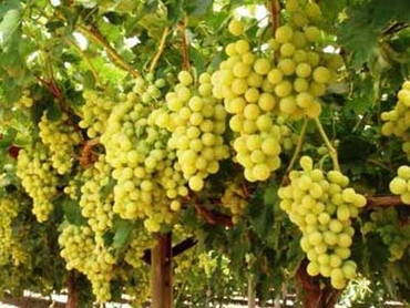 australian table grape export to south Table grapes are grapes intended for consumption while fresh, as opposed to  grapes grown for wine production, juice production, or for drying into raisins.