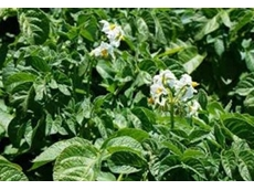 Fungicide spray programs from Crop Care control diseases in potato crops such as late blight