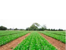 Pre-emergent weed control has been improved in transplanted lettuce crops with the registration of Dacthal 900WG