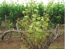 Grapevine with Eutypa dieback symptoms