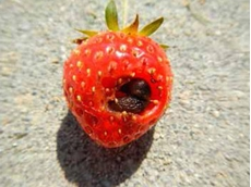 Slugs cause damage to a broad range of crops including strawberries