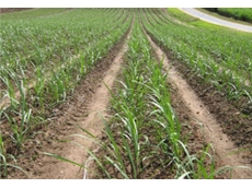 Crop Care suSCon Maxi now allows use against Southern One-year Canegrubs