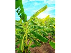 A single application of suSCon Yellow Intel granules can provide 3-year protection against banana weevil borer and greyback canegrub damage