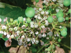 Downy mildew on grape bunches