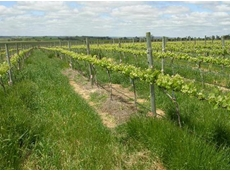 The Barossa Valley trial site in a vineyard with high incidence of glyphosate-resistant ryegrass