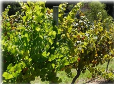 Powdery Mildew in Grapevines Controlled (L) Vs Untreated (R)