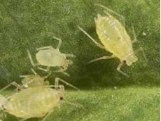 The new insecticide from Crop Care registered for aphid control in stonefruit, brassica and potato crops offers an important alternative in resistance management.