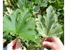 Zucchini leaf (left) treated with a spray program containing Colliss and (right) an untreated leaf