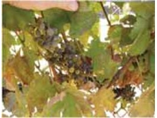 Untreated Powdery Mildew