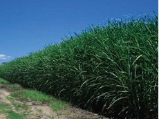 The extra year of protection provided by suSCon maxi Intel against major pests offers cane growers with an even more cost-effective suSCon technology for canegrub control