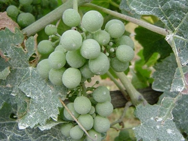 Increase the quality of your grapes with precise water application
