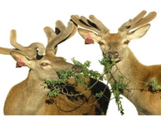 DIAA represents all those involved in the deer breeding industry