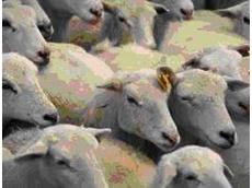 RFID for sheep identification