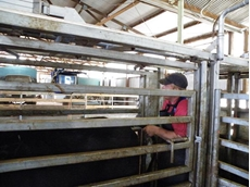 Ultrasound Scanning for Cattle