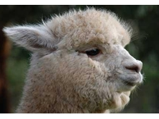 Alpaca breeders on the Mornington Peninsula produce a diverse range of high quality animals
