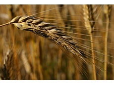 Australia may be first to allow GE wheat