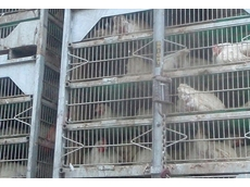Bird flu outbreak causes poultry losses in China