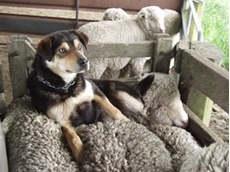 Farmers may be able to claim expenses associated with the upkeep of working dogs at tax time
