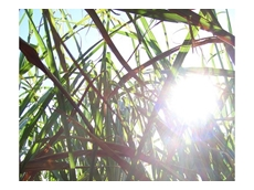 New sugarcane varieties receive green light for Northern Region