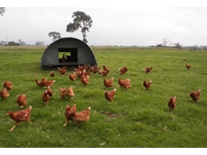 Free range commercial egg producing hens