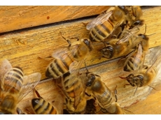 Parasites and imports - a sticky situation for Australian honey producers