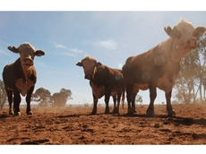 Queensland cattle crisis: animal welfare or the environment?
