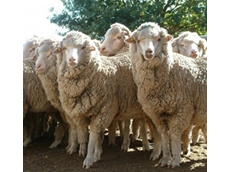 Sheep flock size declines