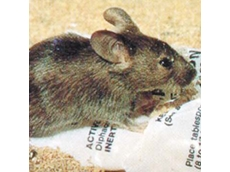 The mouse plague is affecting areas in NSW, Queensland, Victoria and South Australia