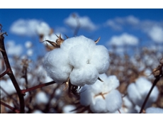 Worm turns for cotton pest as Australia breeds in resistance