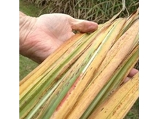 Yellowing cane could ruin farmers, says Katter