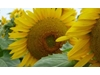 Sunflower opportunities from HSR Seeds
