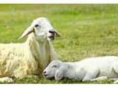 Natural energy remedies from Heal with Ease are ideal for keeping sheep and other livestock healthy on small farms