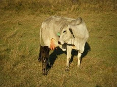 Heal with Ease use homeopathic medicines to improve post weaning weights in calves