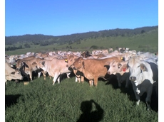 Mob of healthy cattle unaffected by three day sickness